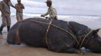 Namanya Samson, Badak TNUK Mati Di Pinggir Pantai Ujung Kulon